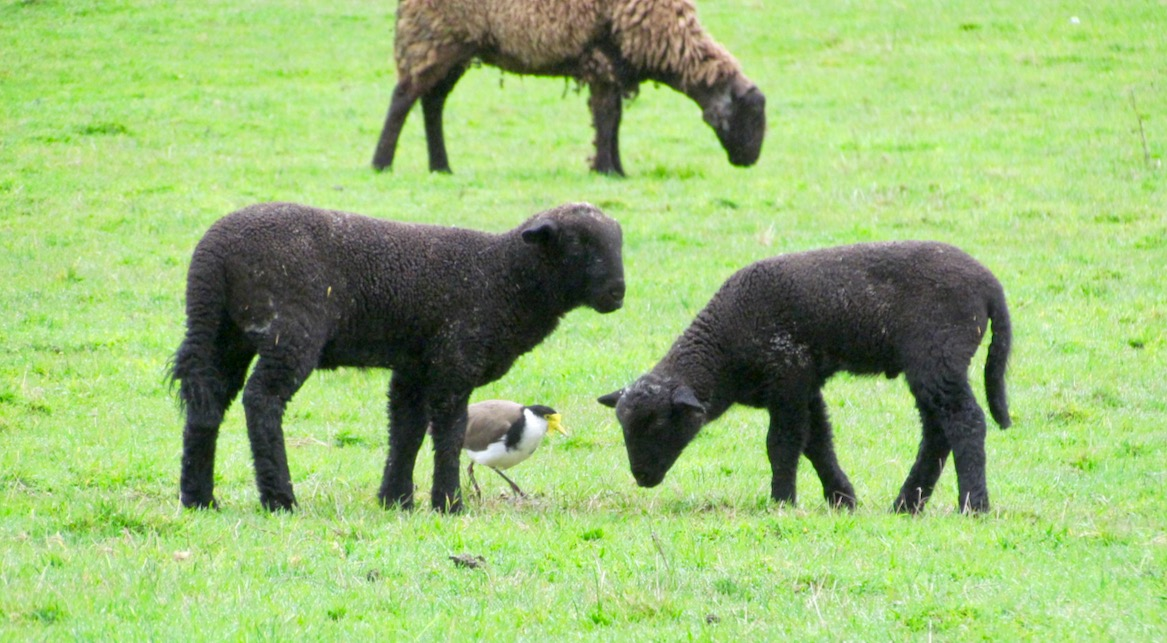 lambs and plover