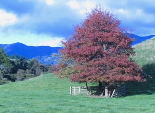 Autumn in the Pohangina Valley