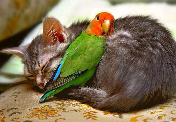 kitten and budgie