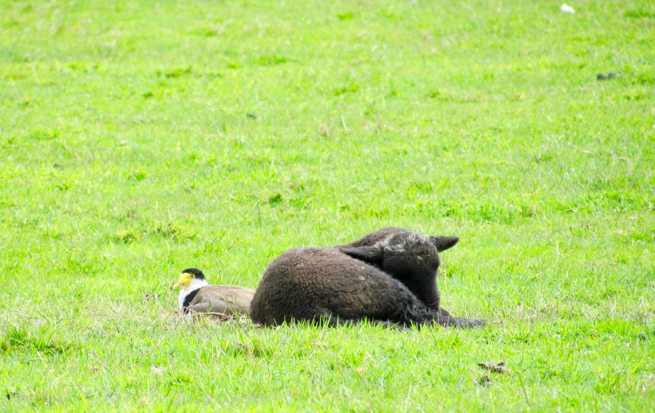 snoozing plover and lamb