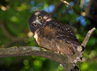 Did you know moreporks mewed?