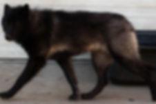 Isis the Wolfdog of Rare Breed Exotics