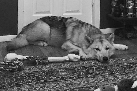 Snowball the wolfdog of Rare Breed Exotics