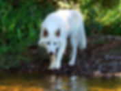 Ghost the Wolfdog of Rare Breed Exotics