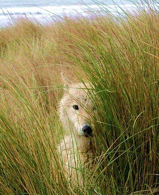 Kahleesi the Wolfdog of Rare Breed Exotics