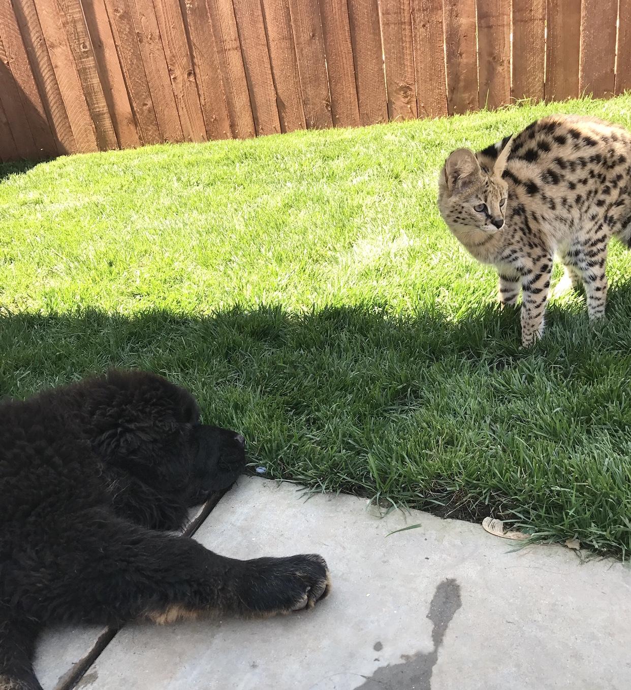 Serval Kitten & Tibetan Mastiff Puppy