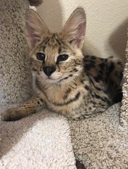 Serval Kitten