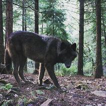 Whitefoot the Black Phase Wolfdog of Rare Breed Exotics