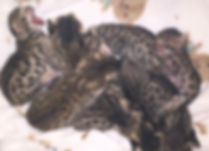 Newborn Savannah Kittens