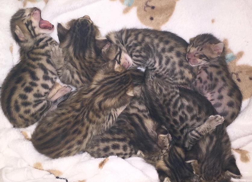 Newborn Savannah Kittens