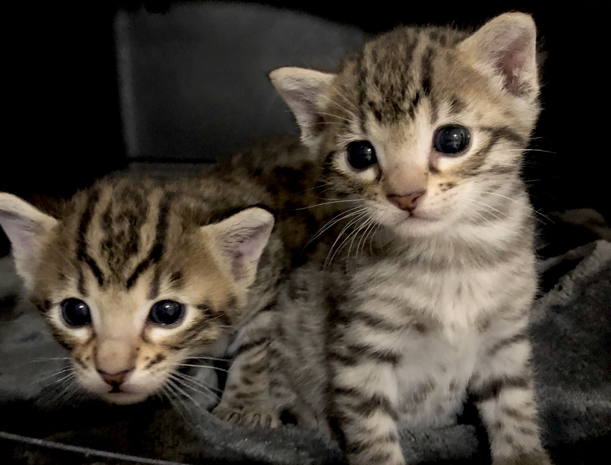 Savannah Kittens