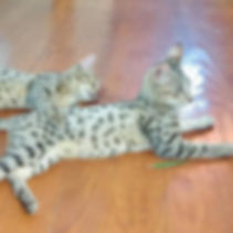 Savannah kittens at Rare Breed Exotics