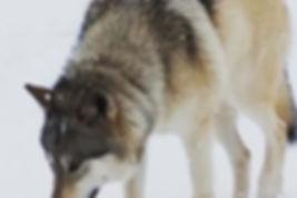 Mariah, high content grey wolfdog of Rare Breed Exotics