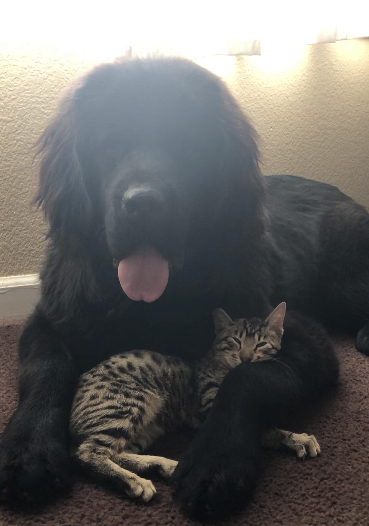 Tibetan Mastiff & Savannah Kitten