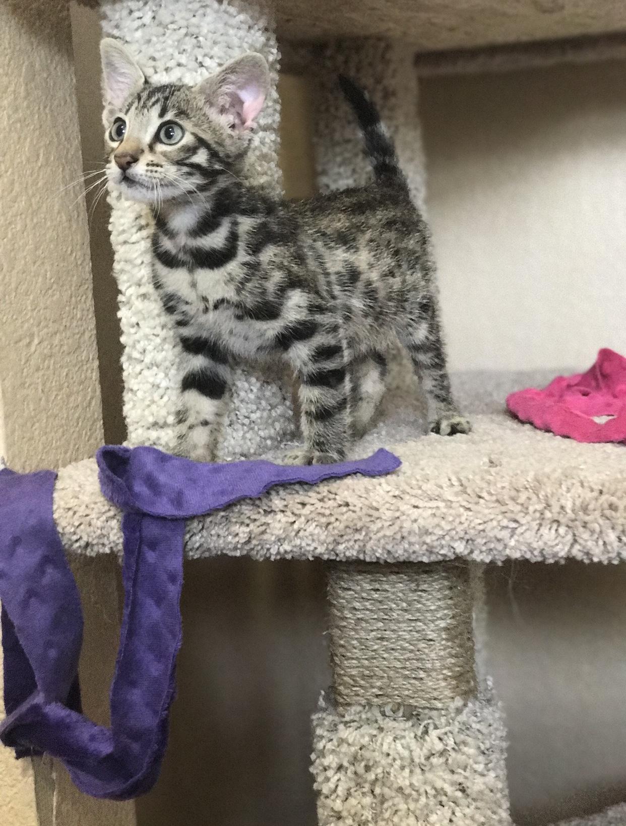 Jagger- Savannah Kitten