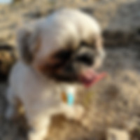 Shih-Tzu Dog at Beach - Customer's Testimonial - Fe's FURnomenal Pet Services | Wirral