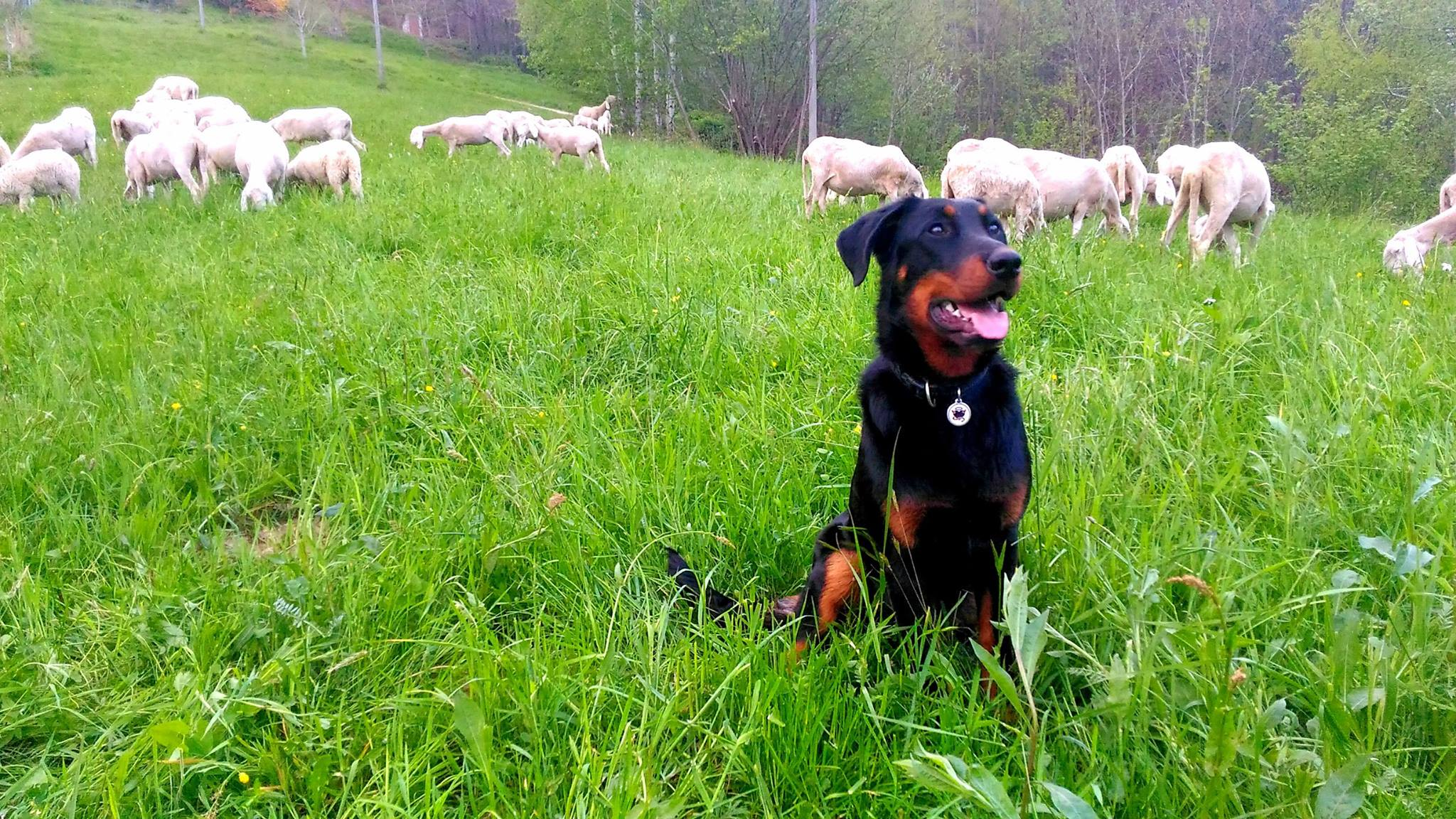 beauceron, sheepdog