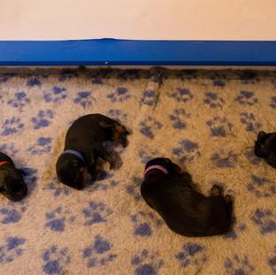 Cuccioli beauceron