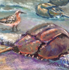 Horseshoe Crab & Red Knot