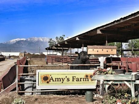 Amy's Farm Field Trip: Tour of a Working Farm (& Pumpkin Patch!) - Ontario, CA