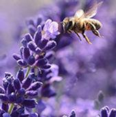 lavender-BANDEAU.jpg