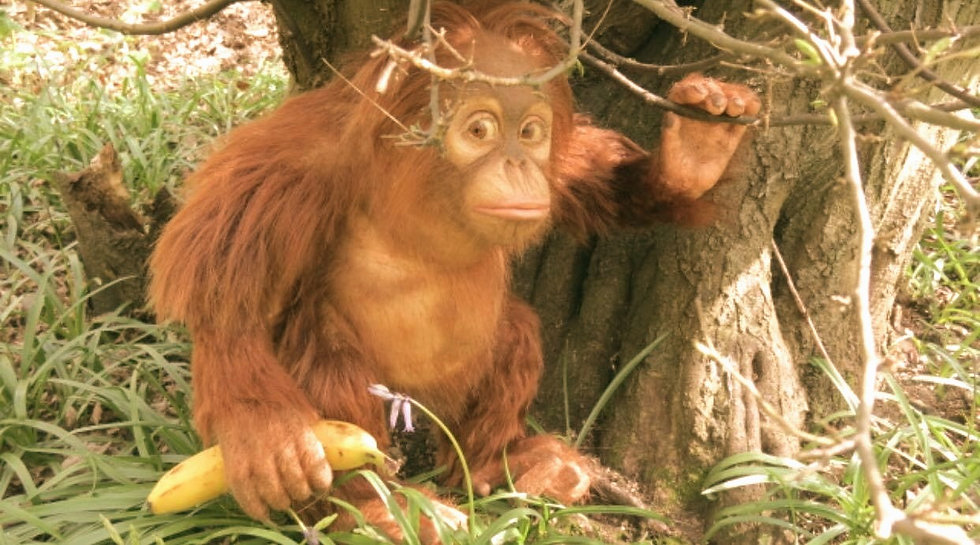 'Grendon' the Baby Orangutan