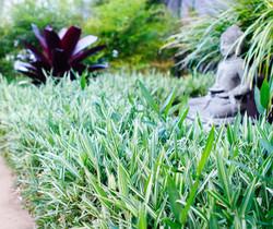 Dwf Whitestripe Ground Cover Bamboo