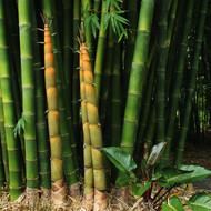 Latiflorus Bamboo
