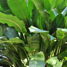 Heliconia Tropics.jpg