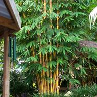Sacred Bali Bamboo
