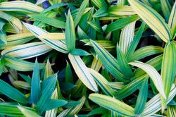 Dwarf Green&Gold Ground Cover Bamboo