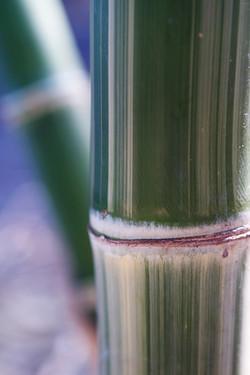 Maxima Bamboo