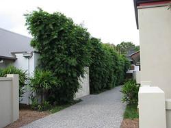 Gracilis Bamboo