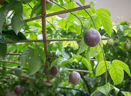 Grow Your Own Passionfruit Vine with These 5 Tips!