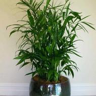 Bamboopalm.jpg