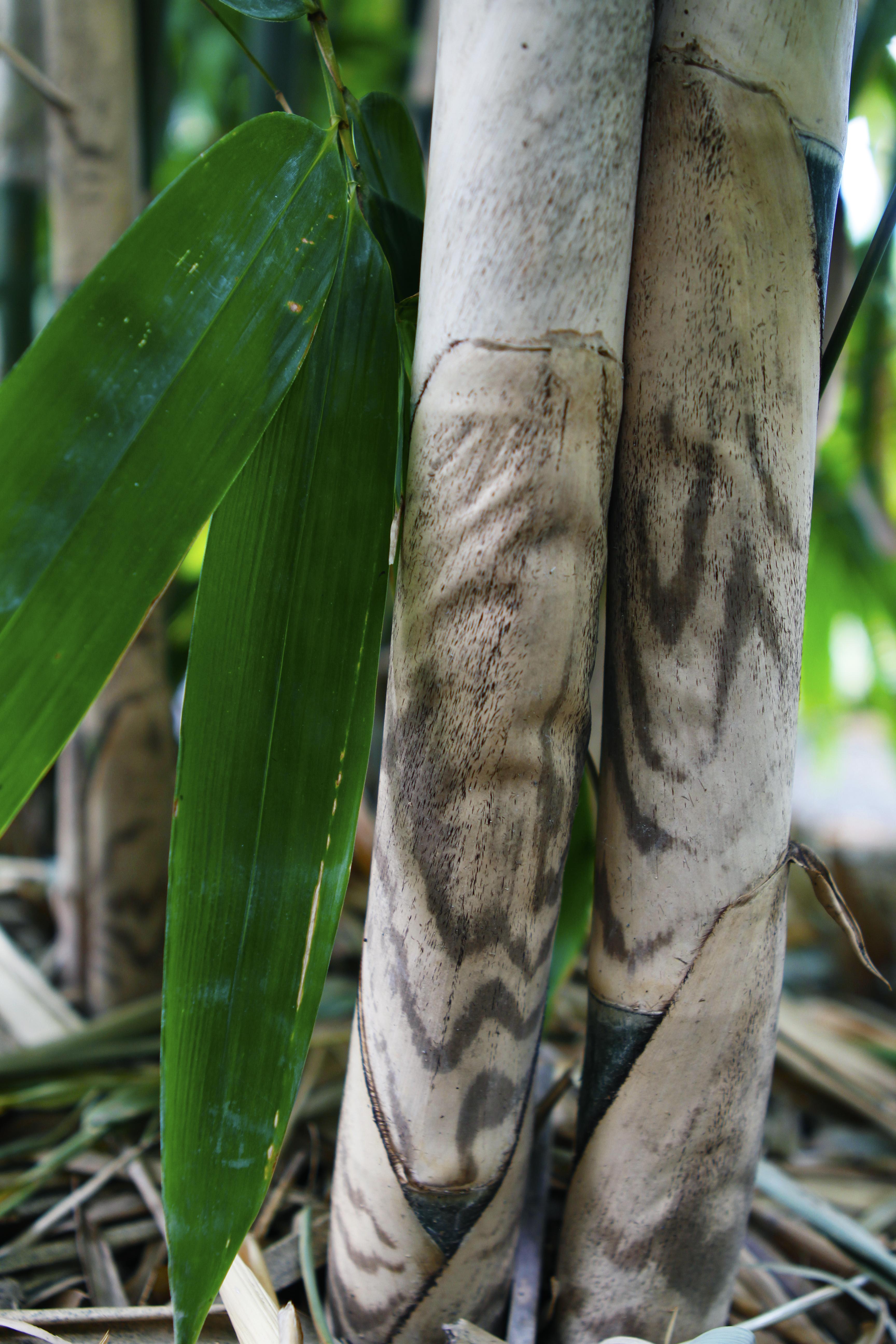 Tigerstripe Bamboo