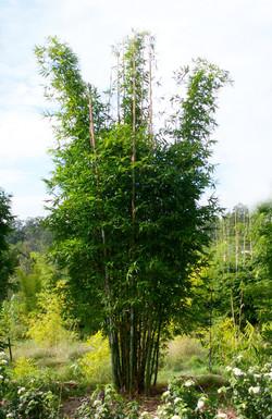 Oldhamii Bamboo