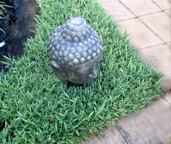 Dwarf Whitestripe Ground Cover