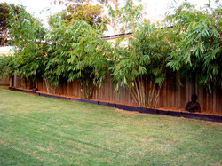 Ghost Bamboo and Timor Black Bamboo