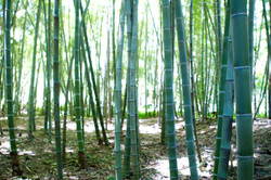 Bamboo Down Under