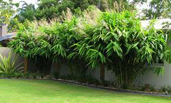 Tiger Grass Giant Clumping Grass