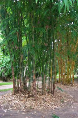 Brandisii Bamboo