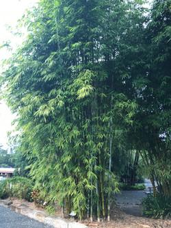 Dwarf Oldhamii Bamboo
