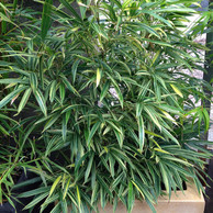 Variegated Temple Bamboo