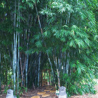 Chungii Blue Bamboo