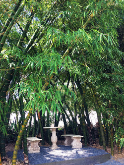 Giant Buddhas Belly Bamboo