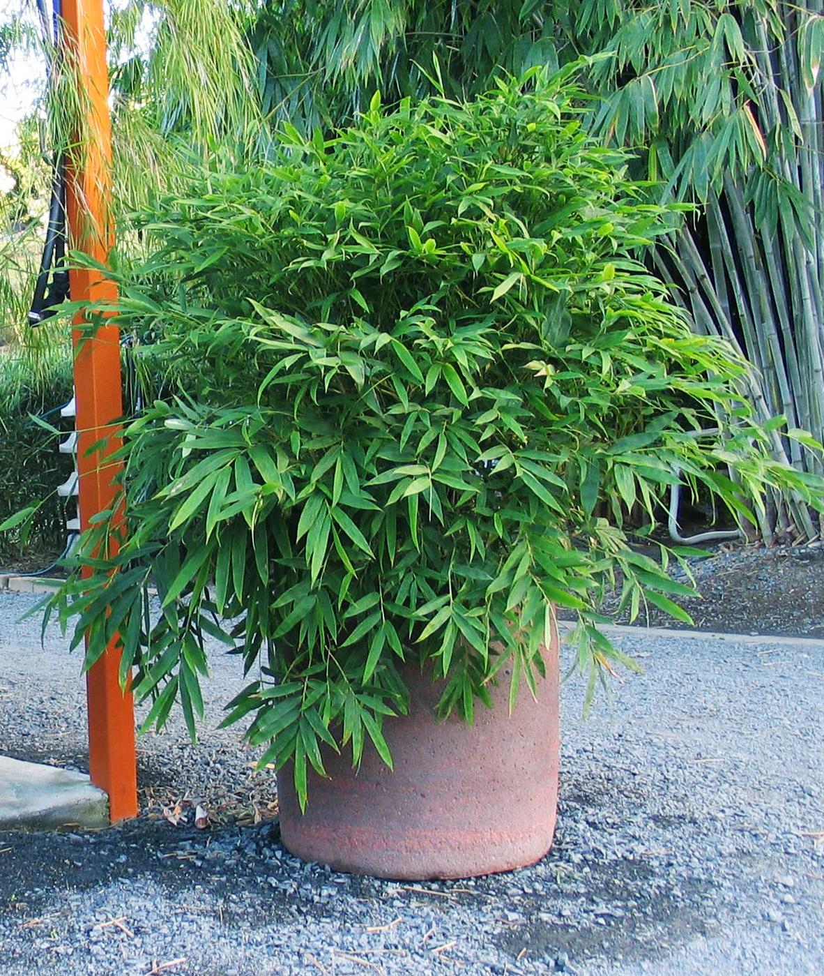 Chinese Dwarf Bamboo