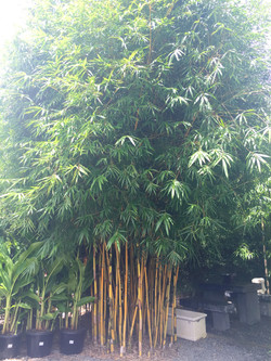 China Gold Bamboo
