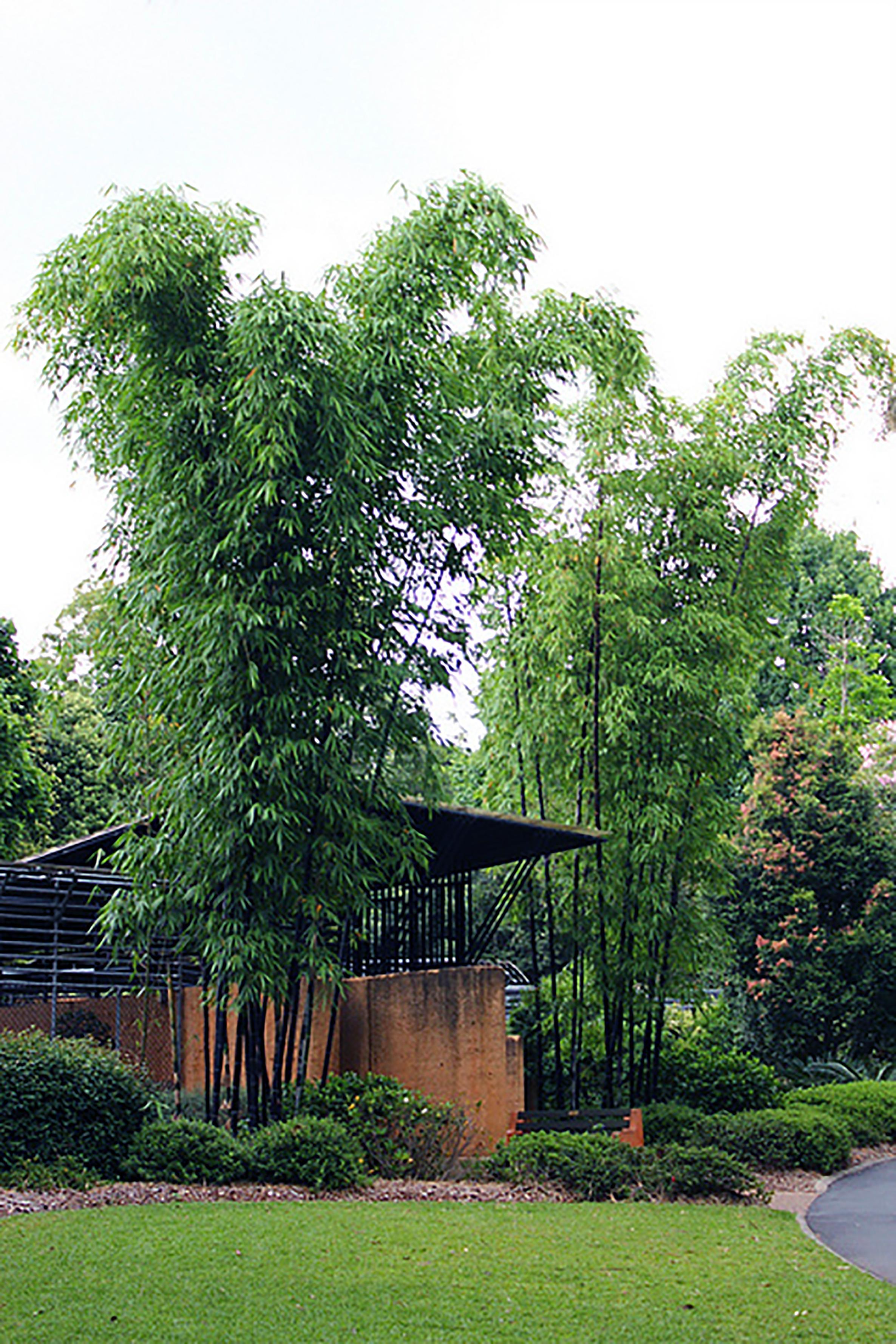 Timor Black Bamboo