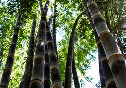 Black Asper Bamboo